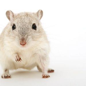 Nowy model zwierzęcy przyspieszy opracowanie i wdrożenie leków i...